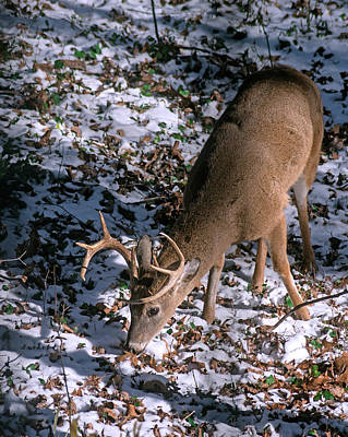 Photograph - Deer Foraging In Snow by Marie Hicks