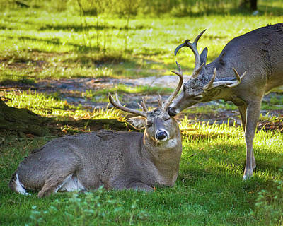 Photograph - Deer Friends by Bill Pevlor