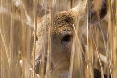 Photograph - Deer Hiding In The Marsh by Liza Eckardt