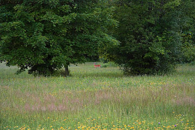 Photograph - Deer In A Meadow At Dawn by Lise Winne