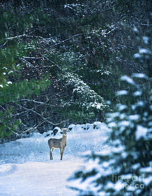 Deer In A Snowy Glade Art Print by Diane Diederich