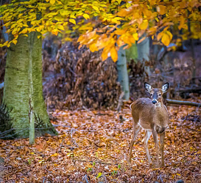 Photograph - Deer In Autumn 5 by Francisco Gomez