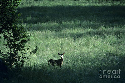 Photograph - Deer In Field by Jim Corwin