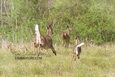 Photograph - Deer In Flight 1 by Captain Debbie Ritter