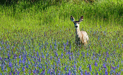 Photograph - Deer In Lupine by Jean Noren