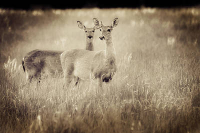 Photograph - Deer In Sepia by Virginia Folkman