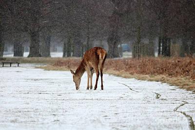 Photograph - Deer In Snow At Bushy Park London by Julia Gavin
