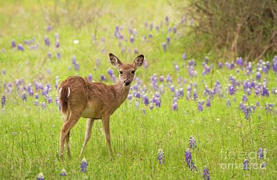 Deer In The Bluebonnets Art Print