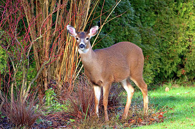 Photograph - Deer In The Garden by Sharon Talson