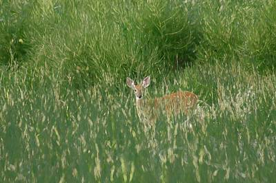 Deer In The Grass Art Print by Ernie Echols
