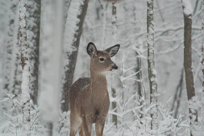 Pause Photograph - Deer In The Snow by Douglas Barnett