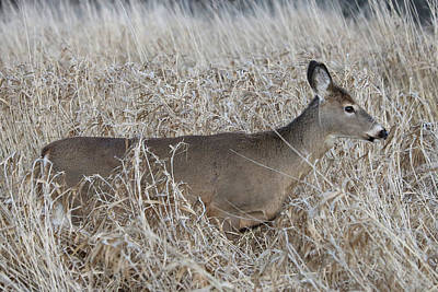 Photograph - Deer In The Tall Grasses by Doris Potter