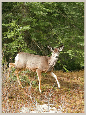Photograph - Deer In The Wild 3 by Elisabeth Dubois