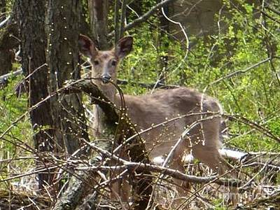 Photograph - Deer In Woods by Kathie Chicoine