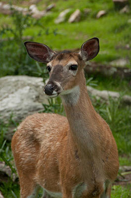 Photograph - Deer by Joye Ardyn Durham