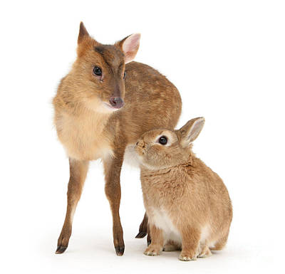 Photograph - Deer Little Bunny by Warren Photographic