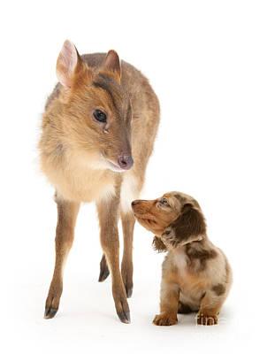 Photograph - Deer Little Sausage by Warren Photographic