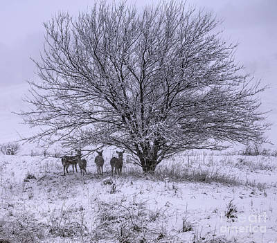 Photograph - Deer Of Winter by Elizabeth Winter