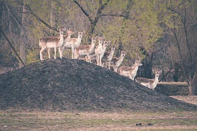 Photograph - Deer On A Hill by Viviana  Nadowski