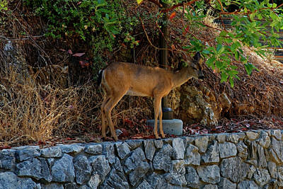 Photograph - Deer by Peter Ponzio