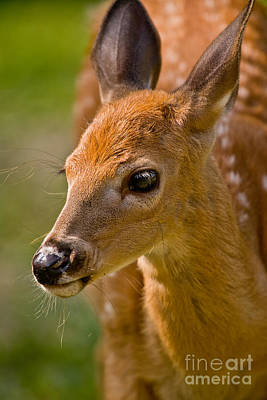 Deer Pictures 632 Original by World Wildlife Photography