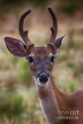 Photograph - Deer Portrait by Douglas Barnard