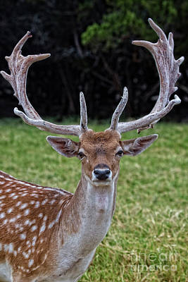 Photograph - Deer Portrait V3 by Douglas Barnard