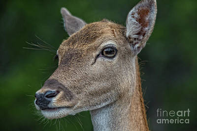 Photograph - Deer Portrait V4 by Douglas Barnard