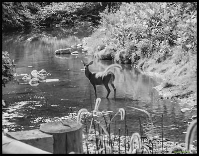 Photograph - Deer Pose Black And White by Roberta Byram