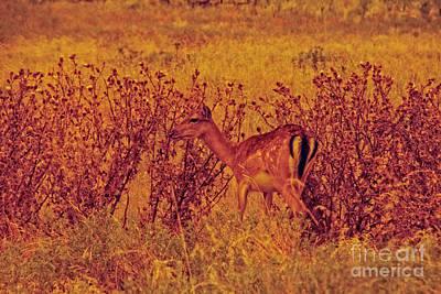 Photograph - Deer-red Sunset by Douglas Barnard