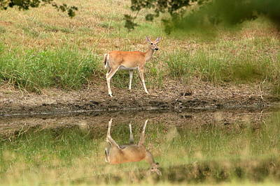 Photograph - Deer Reflection  by Sheila Brown