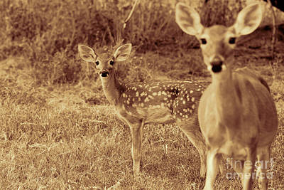 Photograph - Deer Sepia V3 by Douglas Barnard