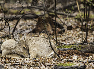 Photograph - Deer Sleeping In The Woods by Jeannette Hunt