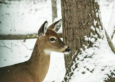 Photograph - Deer Sniffing Scent by Douglas Barnett