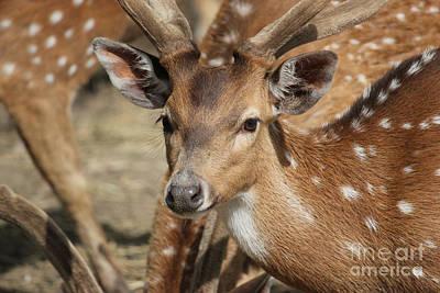 Photograph - Deer Spotting by Wilko Van de Kamp