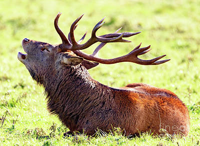 Photograph - Deer Stag Bellowing by Colin Rayner