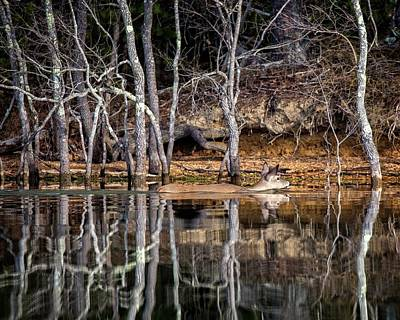Photograph - Deer Swim by Alan Raasch