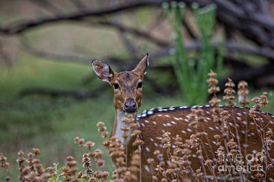 Photograph - Deer V5 by Douglas Barnard