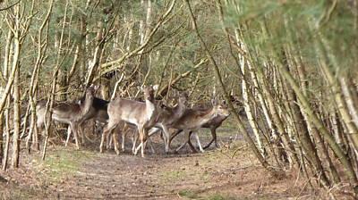 Deer Walking Across Forest Path Art Print by Richard Griffin