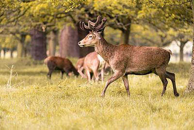 Photograph - Deer Walking by Matt Malloy