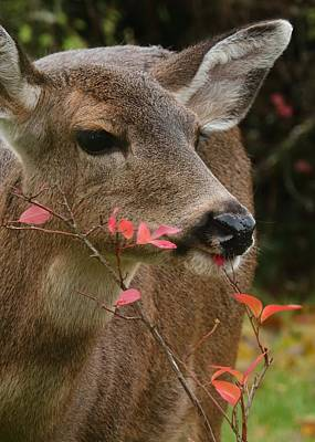 Photograph - Black-tailed Deer's Afternoon Treat by I'ina Van Lawick
