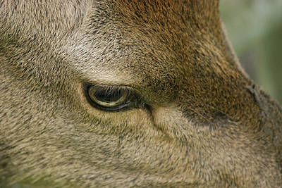 Photograph - Deers Gentle Eye by Kathryn Bell