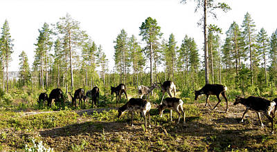 Photograph - Deers In The North Of Sweden by Tamara Sushko