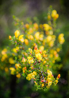 Photograph - Yellow Bush Penstemon by Alexander Kunz