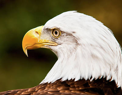 Eagle Photograph - Defiance by Ron  McGinnis