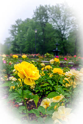 Photograph - Delaware Park Yellow Roses by Chris Bordeleau
