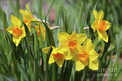 Daffodil Hill Photograph - Delectable Daffodils by Carol Groenen
