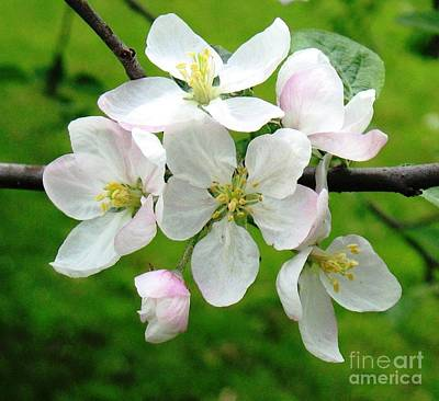 Photograph - Delicate Apple Blossoms by Hazel Holland