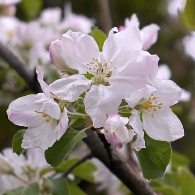 Blossom Photograph - Delicate Apple Blossoms by Rona Black
