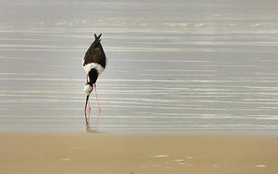 Photograph - Delicate Black-necked Stilt By The Ocean by Helissa Grundemann